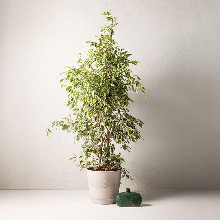 köpa stora växter