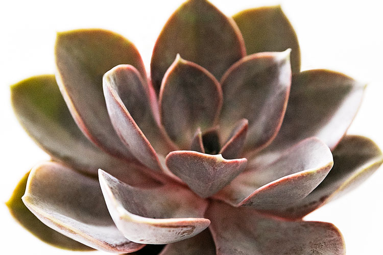 Echeveria - Blommor - Interflora