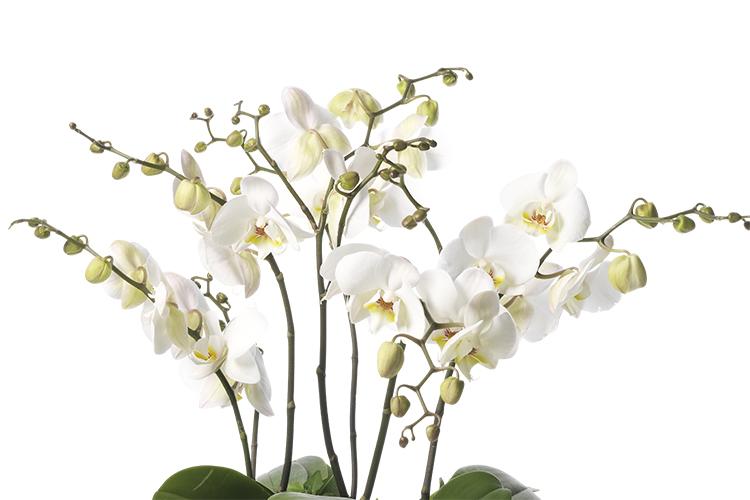 Orkidé - Blomfakta - Interflora
