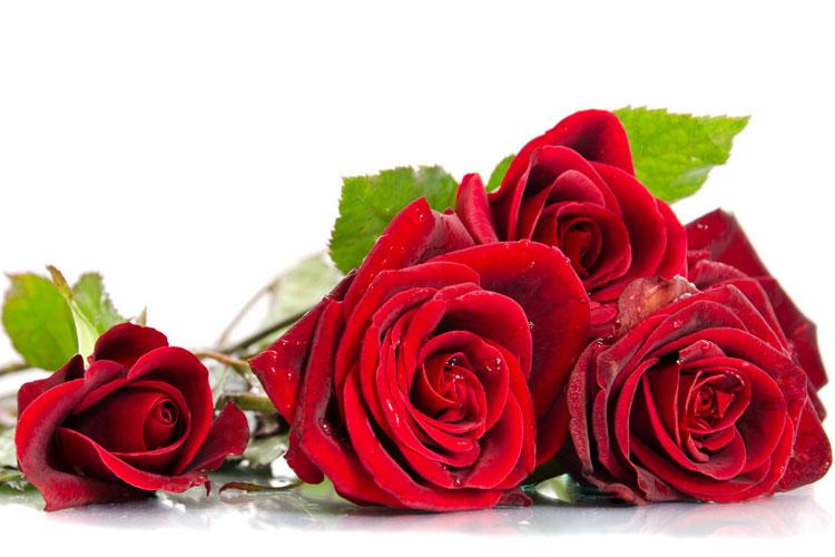 röd ros symbolik