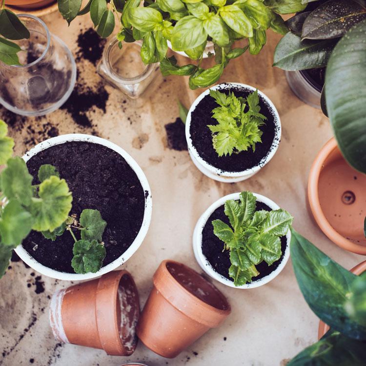 när plantera om växter