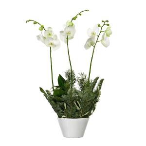 Orkide i kruka