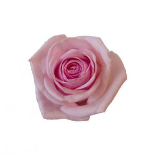 blommornas språk rosor