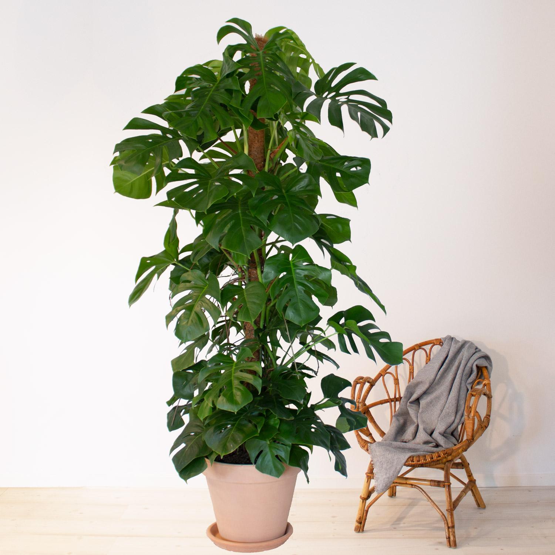 stora gröna inneväxter