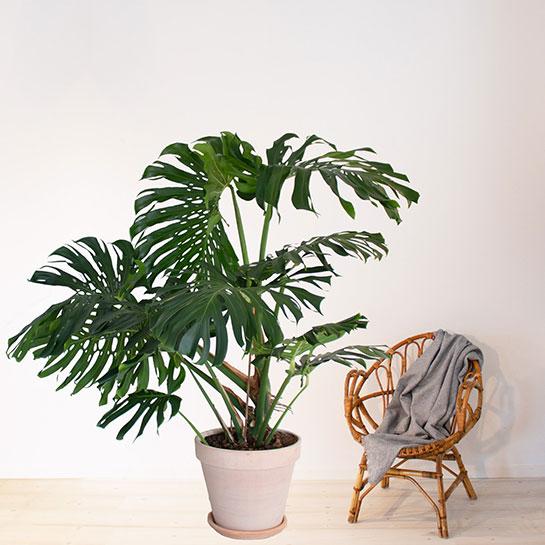 stora växter billigt