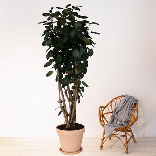 stor grön växt